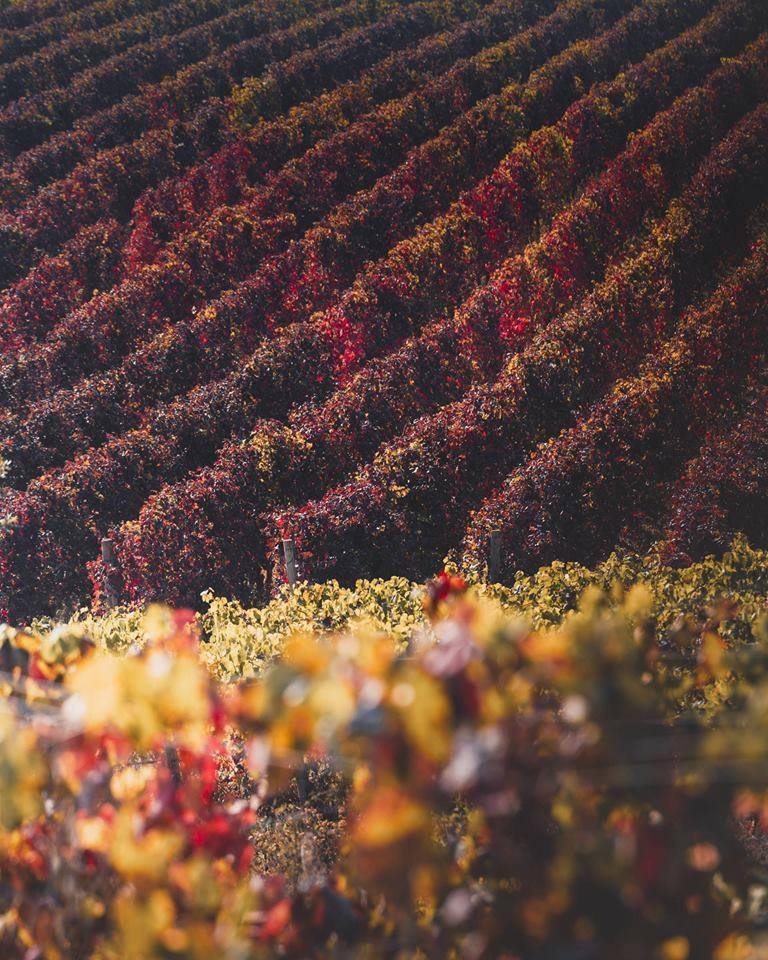 Vineyards in Montepulciano